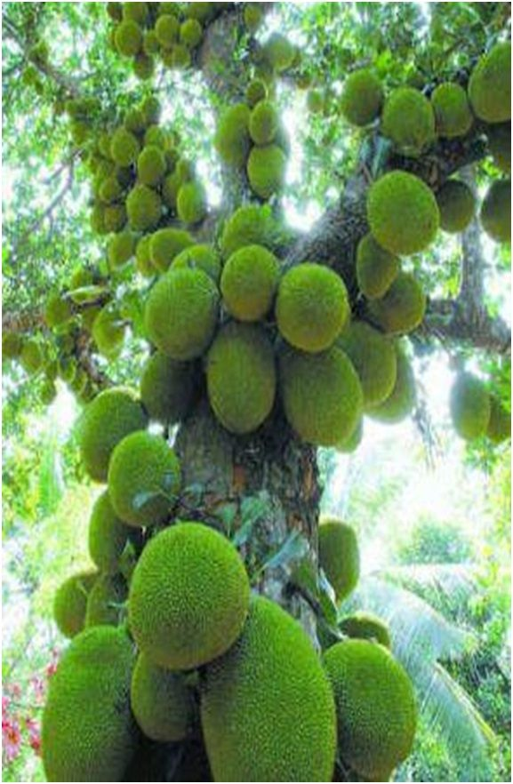 Jack Fruit Tree In Kerala With Images