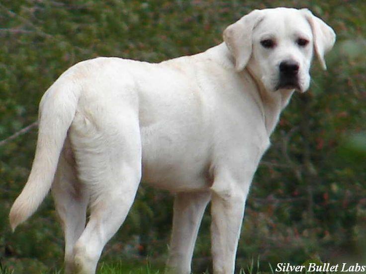 White Labrador Retriever Puppies White Labrador Labrador Retriever Puppies Labrador Retriever