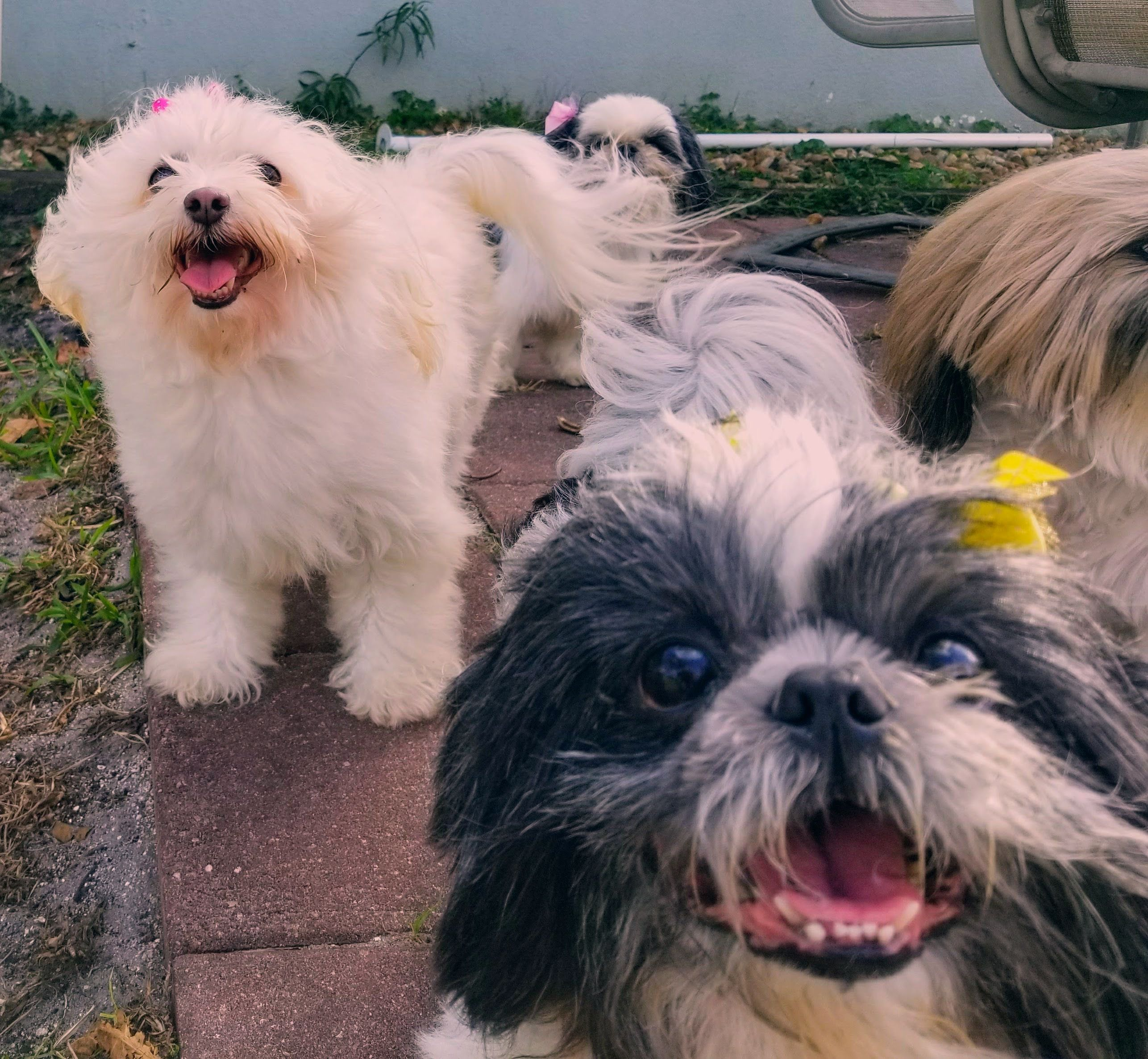 Find Shih Tzus For Sale On Oodle Classifieds All Shih Tzu Found Here Are From Akc Registered Parents Pets For Adoption At In 2020 Shih Tzu Puppies Shih Tzu For Sale