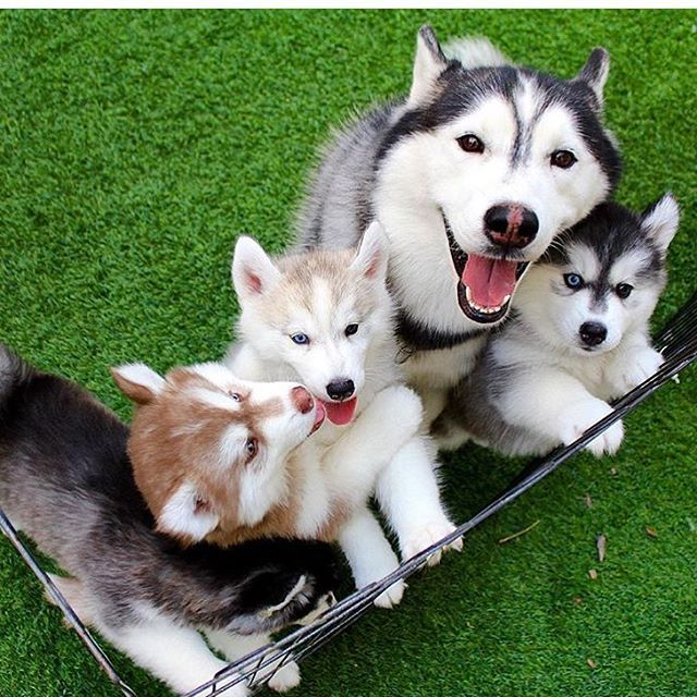 Happy Husky Family One Of Each Color Puppy Except White Nice
