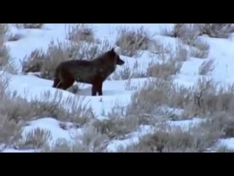 Lobo - Ein Wolf schreibt Geschichte