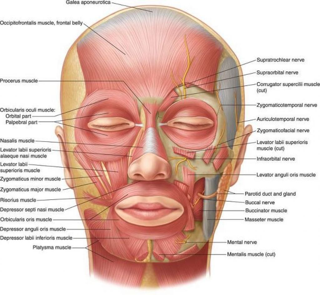 Muscles Of The Head And Neck Anterior View Plate 7 29 face ...