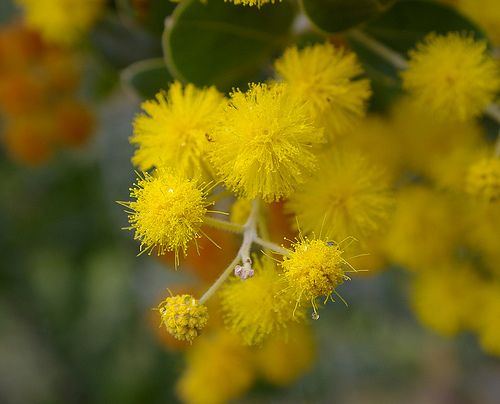 Acacia Flower Pictures Acacia Tree Flowers Medicinal Plants Sacred Plant Acacia Tree