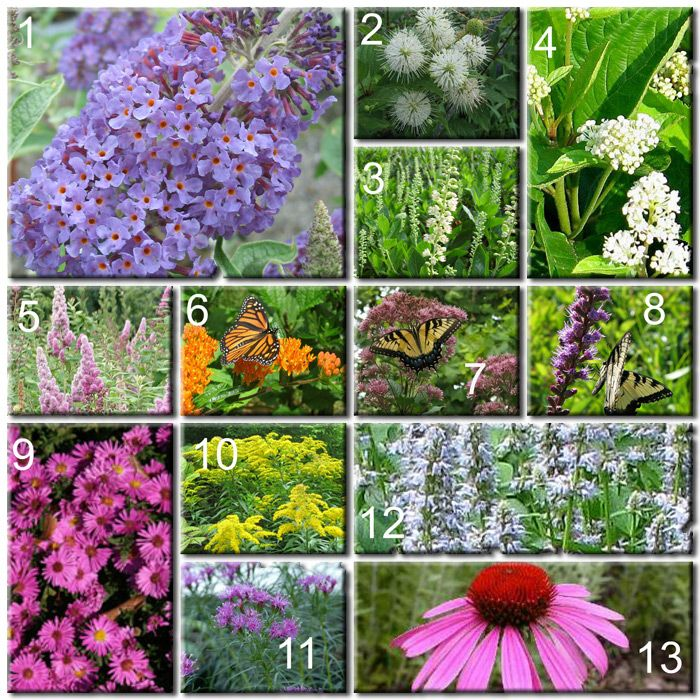 Maryland Native Plants: Build Your Own Butterfly Garden
