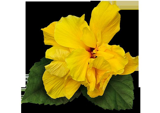 Hibisco (Cassiopeia)
