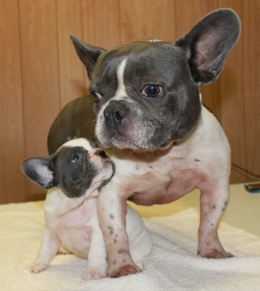 Adult Fawn French Bulldog Blue Prince Pedigree Bulldog