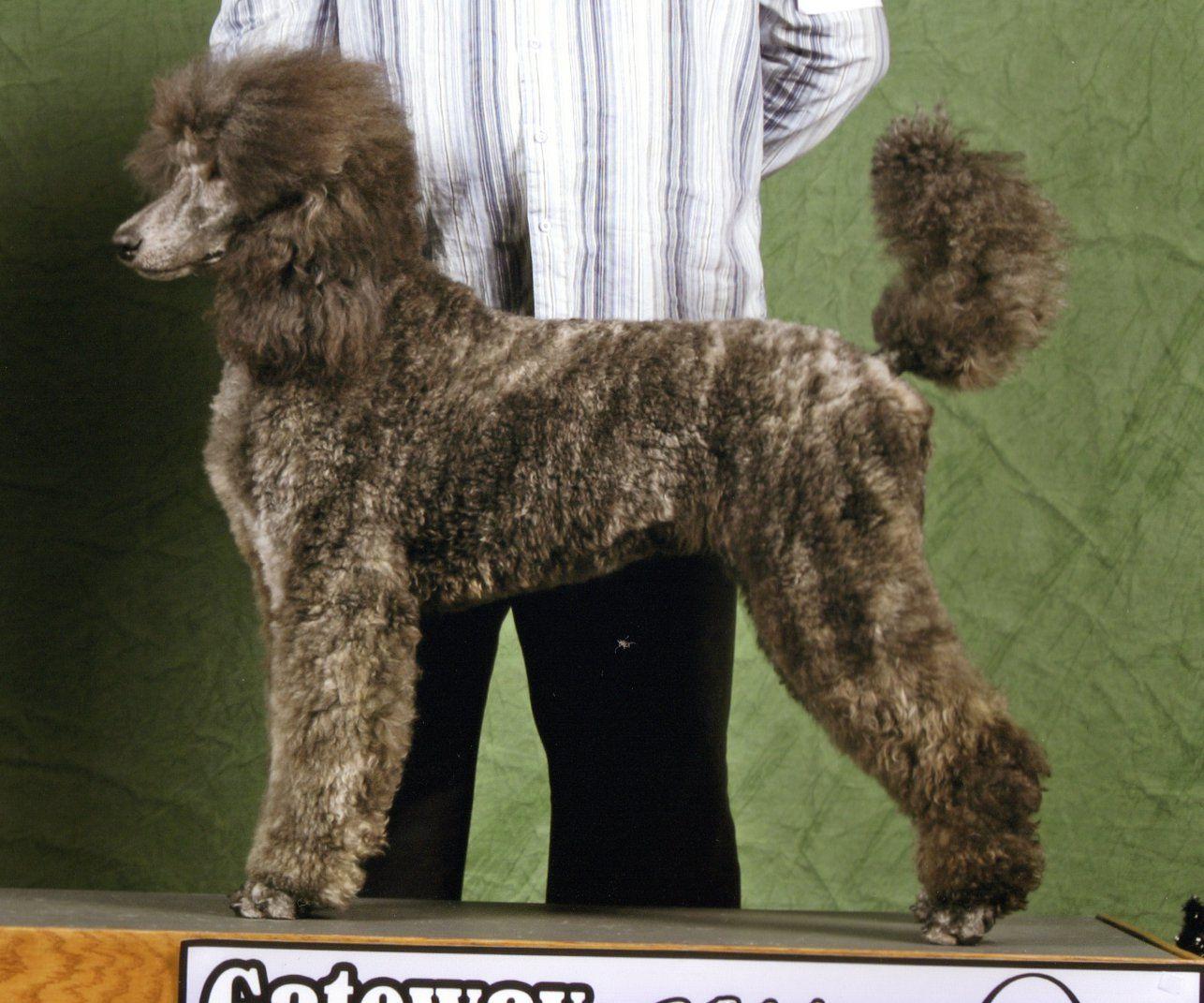 Brindle Poodle Poodle Poodle Dog