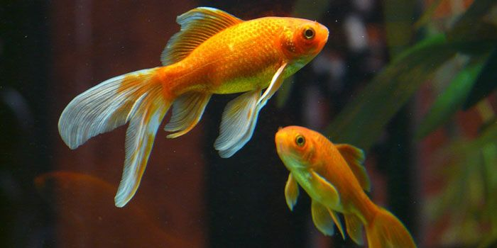 Gold Fish Best Freshwater Aquarium Fish For Beginners Easy Fish For