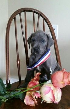 Litter Of 4 Great Dane Puppies For Sale In Raymore Mo Adn 49765