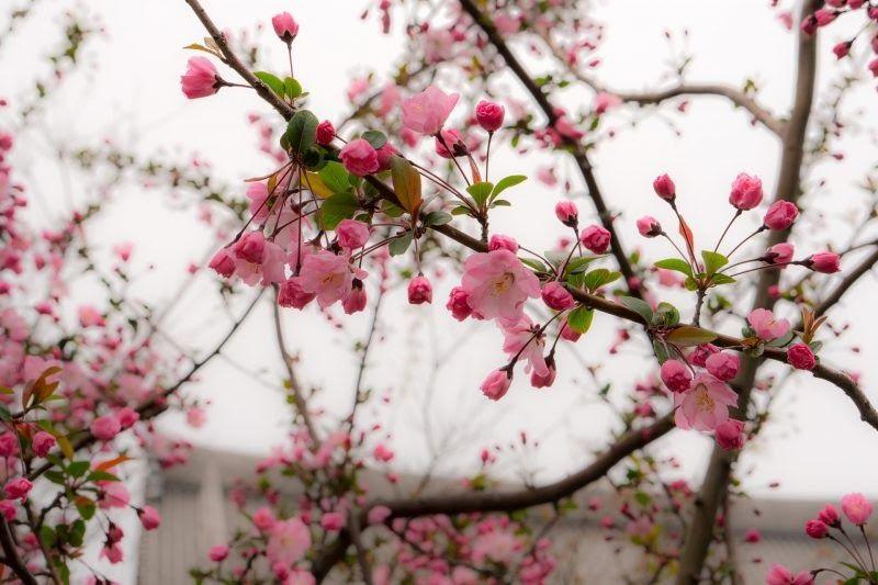Paling Hits 30 Gambar Bunga Sakura Warna Ungu Cara Menanam Bunga Sakura Di Indonesia Agar Dapat Berbunga Download Gambar Bunga Bunga Sakura Wallpaper Alam