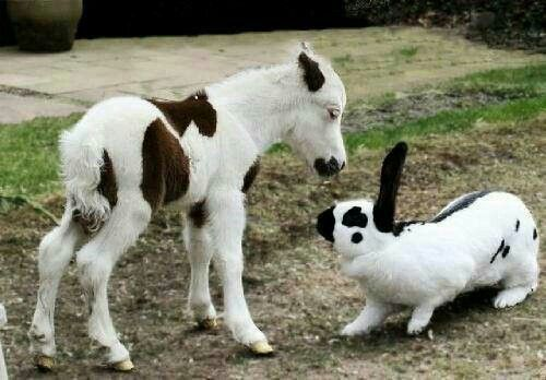 What an adorable photo of a miniature horse or a really big rabbit, lol. From Cowboy Magic on FB.