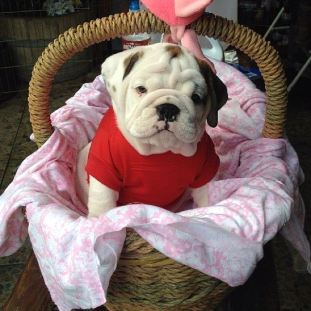 Bulldog Hamper With Images Bulldog Puppies Cute Animals