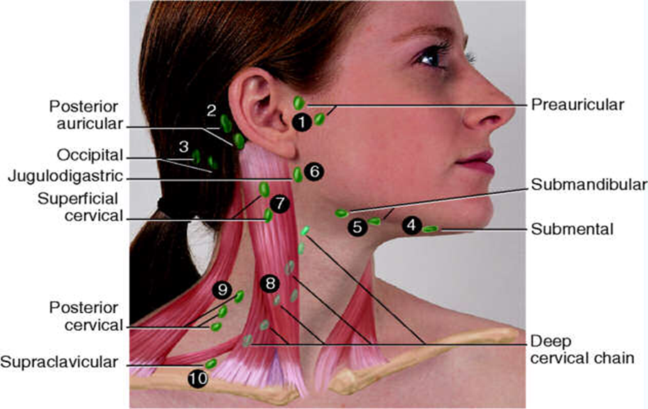 Lymph Nodes Locations In Neck Google Search Nursing Pinterest
