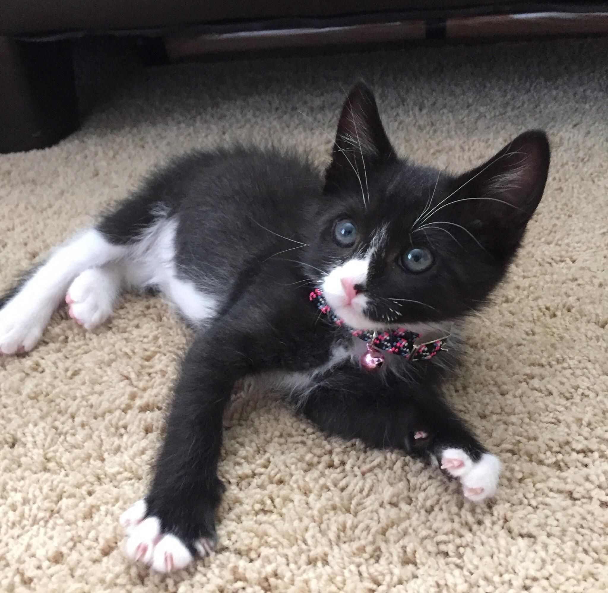 My New 9 Week Old Kitten Named Figaro Im Quite Allergic To Cats But Hes Just To My New 9 Week Old Kitten Named In 2020 Kitten Names Allergic To Cats Bambino Cat