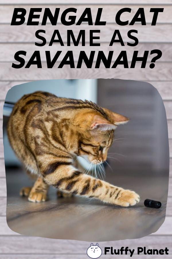 Is Bengal Cat The Same As A Savannah 2020 Savannah Chat Bengal Cat Cats