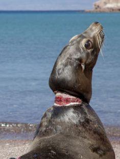 Leone di mare in salvo dopo essere stato strangolato da linee di pesca