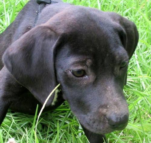 07 13 14 Sl Guinevere American Bulldog Black Labrador Retriever
