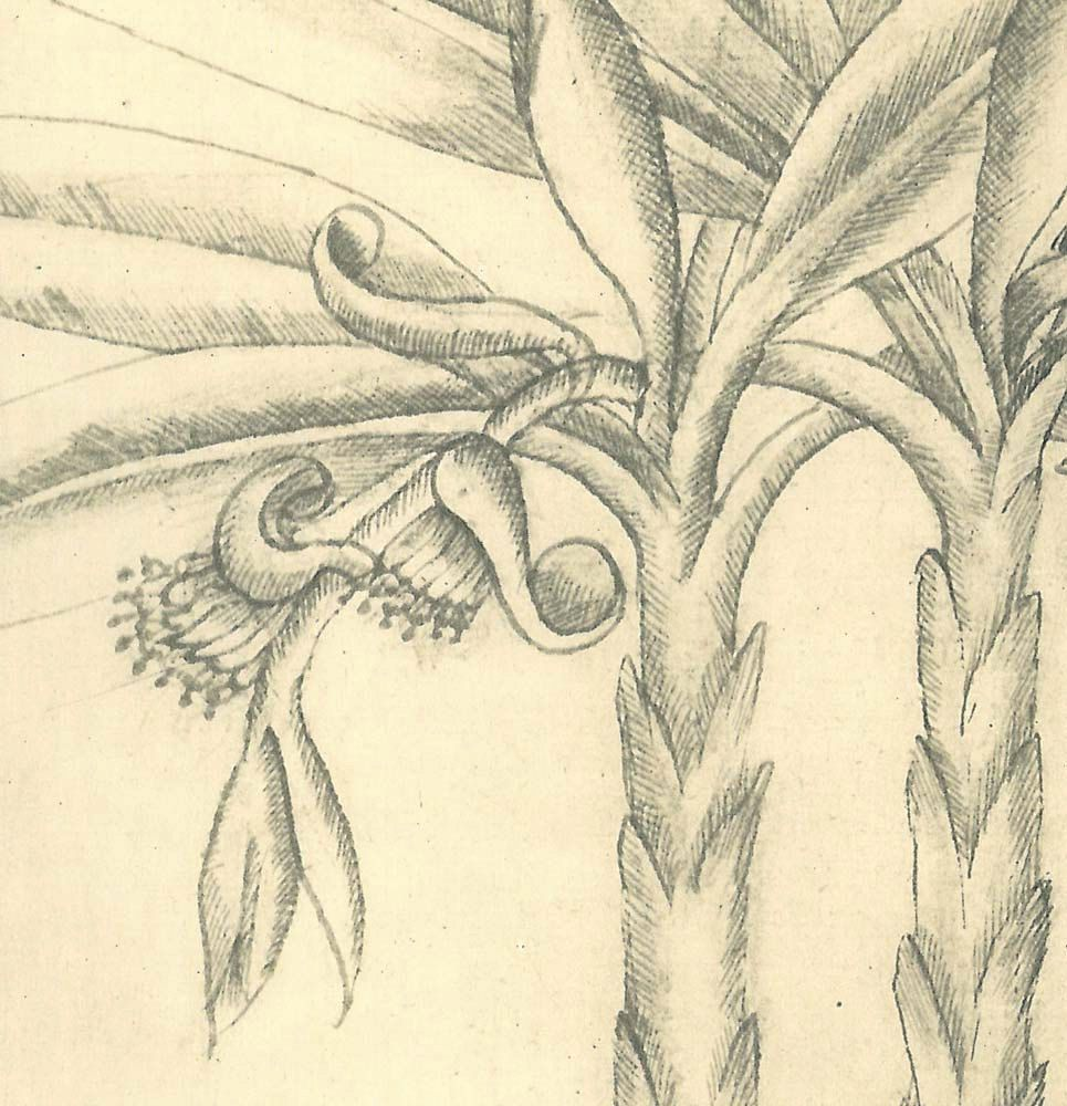 Vintage botanical art sketch drawing banana tree maranhao brazil