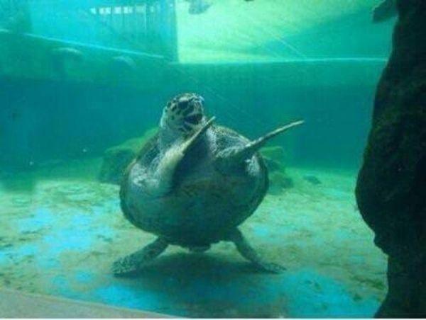 tortuga bailando
