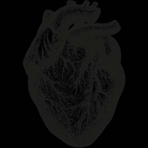 Anatomical Drawing Heart 25 Heart Anatomy Drawing Human Heart Drawing Heart Illustration