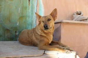 Foxy Is An Adoptable Shepherd Dog In Tucson Az Foxy 732377