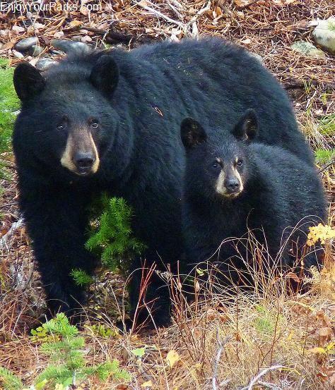 Black Bear Sow & Cub, Grand Teton National Park