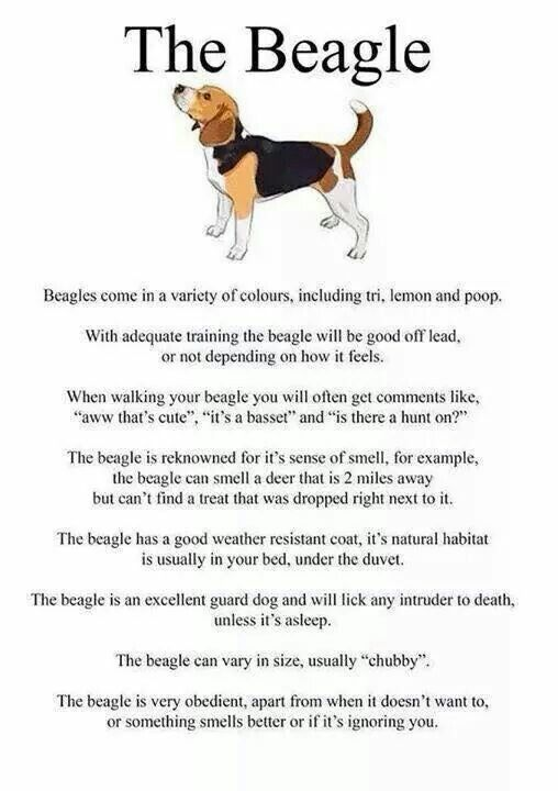 I Don T Think I Ve Ever Read Anything More True About Beagles