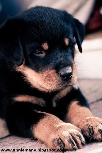 Price Range For A Rottweiler Puppy Cute Animals Rottweiler