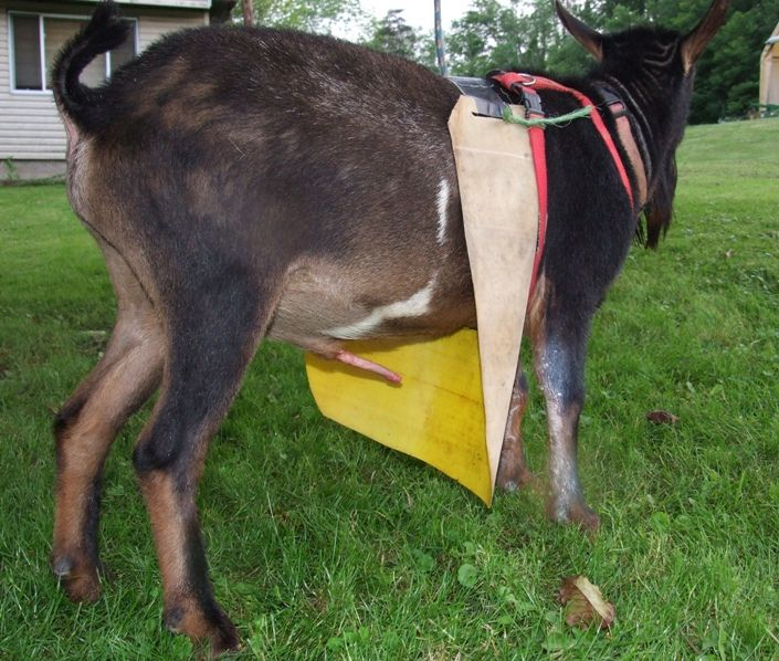 #goatvet Has Not Used This Buck Apron But It Should Help