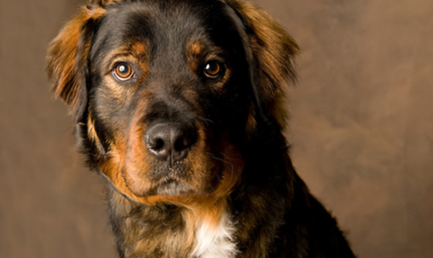 Bernese Rot Mix Animales