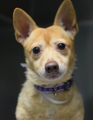 Safe 11 9 2015 By Louie S Legacy Animal Rescue Super Urgent Brooklyn Center Peechy A1056410 Male Gold White Chihuahua Sh Shih Tzu 13 Yrs Owner Sur