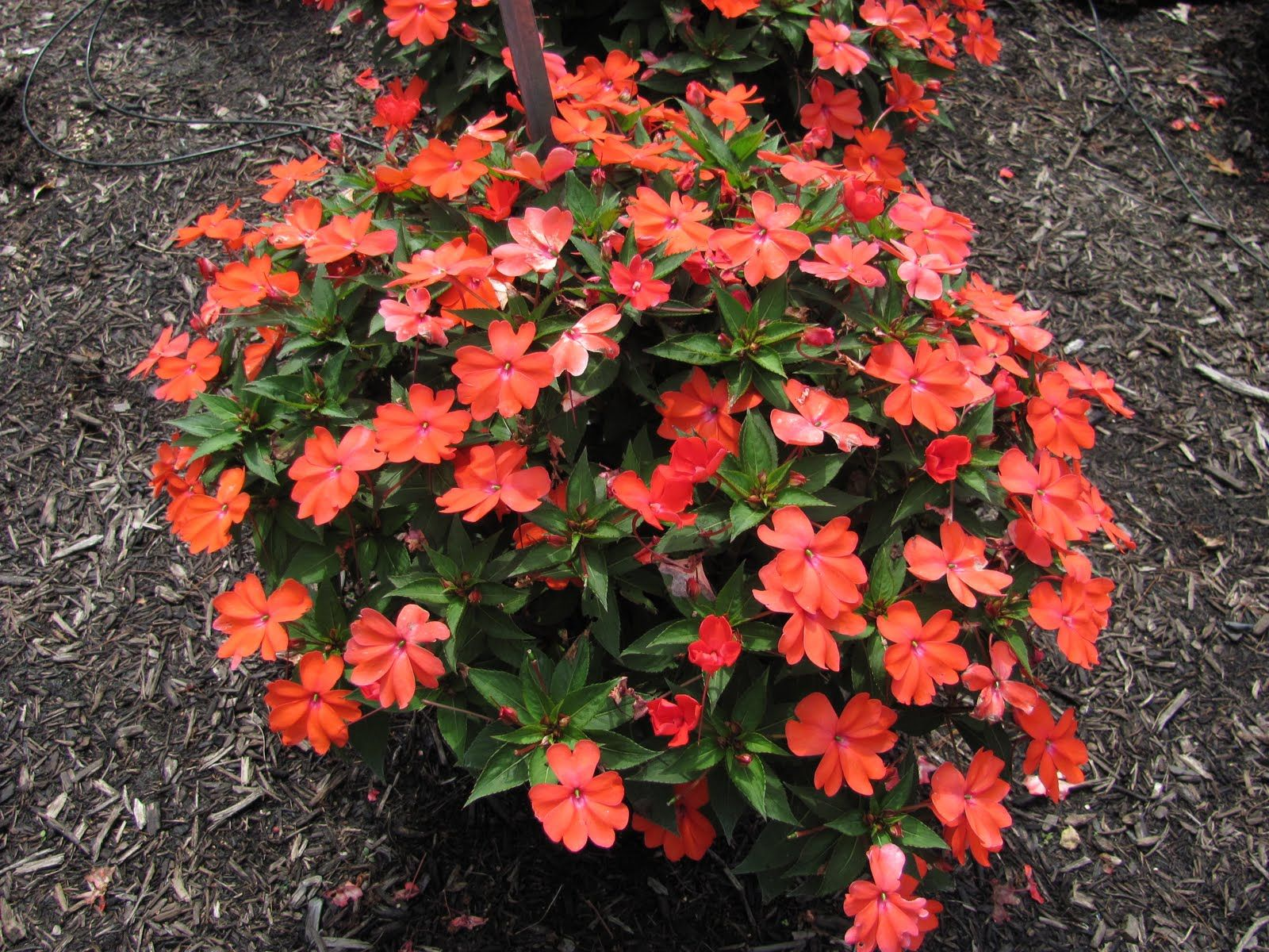 Franklin County (PA) Master Gardeners: Best Annual Flowers in 2010