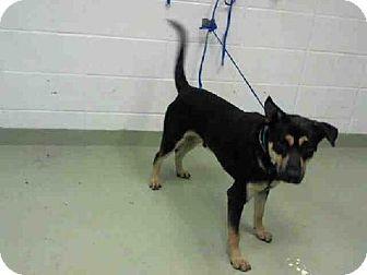 Houston, TX - German Shepherd Dog Mix. Meet BENJI, a dog for adoption. http://www.adoptapet.com/pet/11597141-houston-texas-german-shepherd-dog-mix
