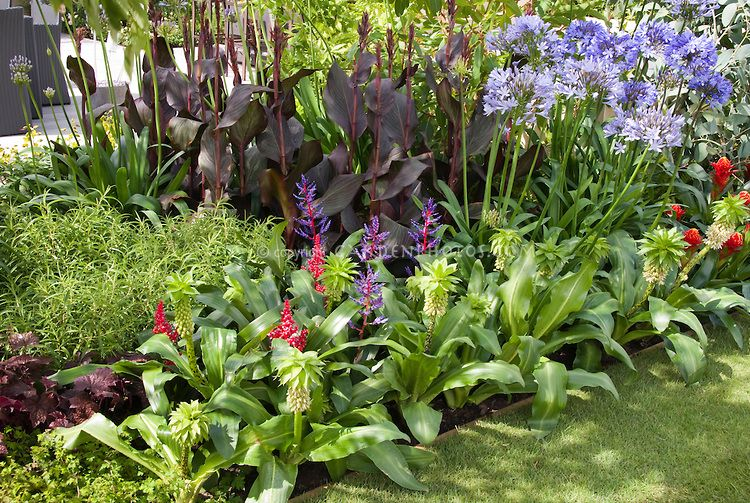 Eucomis Bicolor With Tropical Flowers Agapanthus And Purple Leaf Foliage Canna In Planting Border