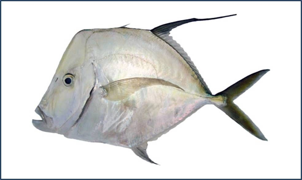 Galo de Penacho. | Pesca