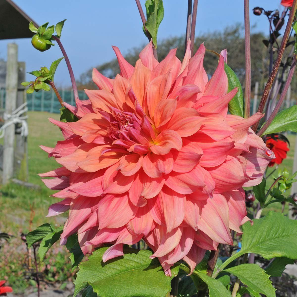 DAHLIA DINNERPLATE) ace summer sunset ( 2 Tuber ) Great Cut Flowers  Perennial & DAHLIA DINNERPLATE) ace summer sunset ( 2 Tuber ) Great Cut Flowers ...