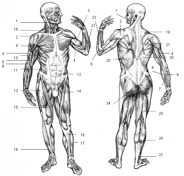 Figure 10 Muscular system, anterior and posterior view