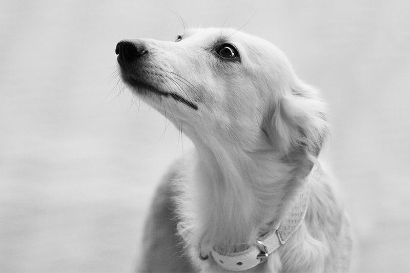 Silken Windsprite Fotos Golden Merlo Windhund Windhunde Hunderasse