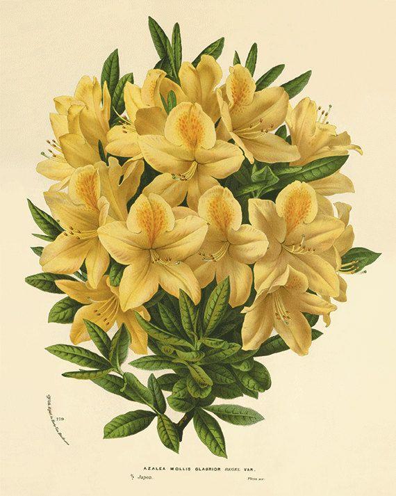 Azalea Antique flower art print botanical art print vintage garden ...