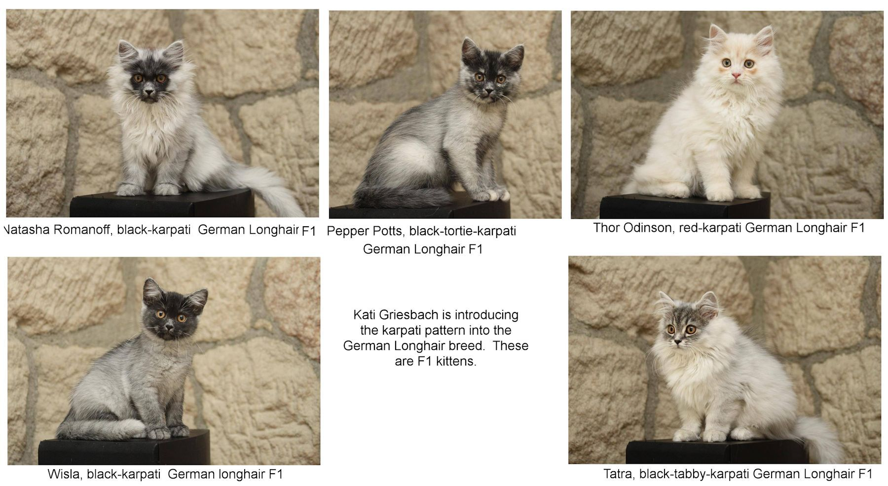 Karpati Roan And Tweed Salt Amp Pepper Mutations Beautiful Cats Cute Animals Tabby
