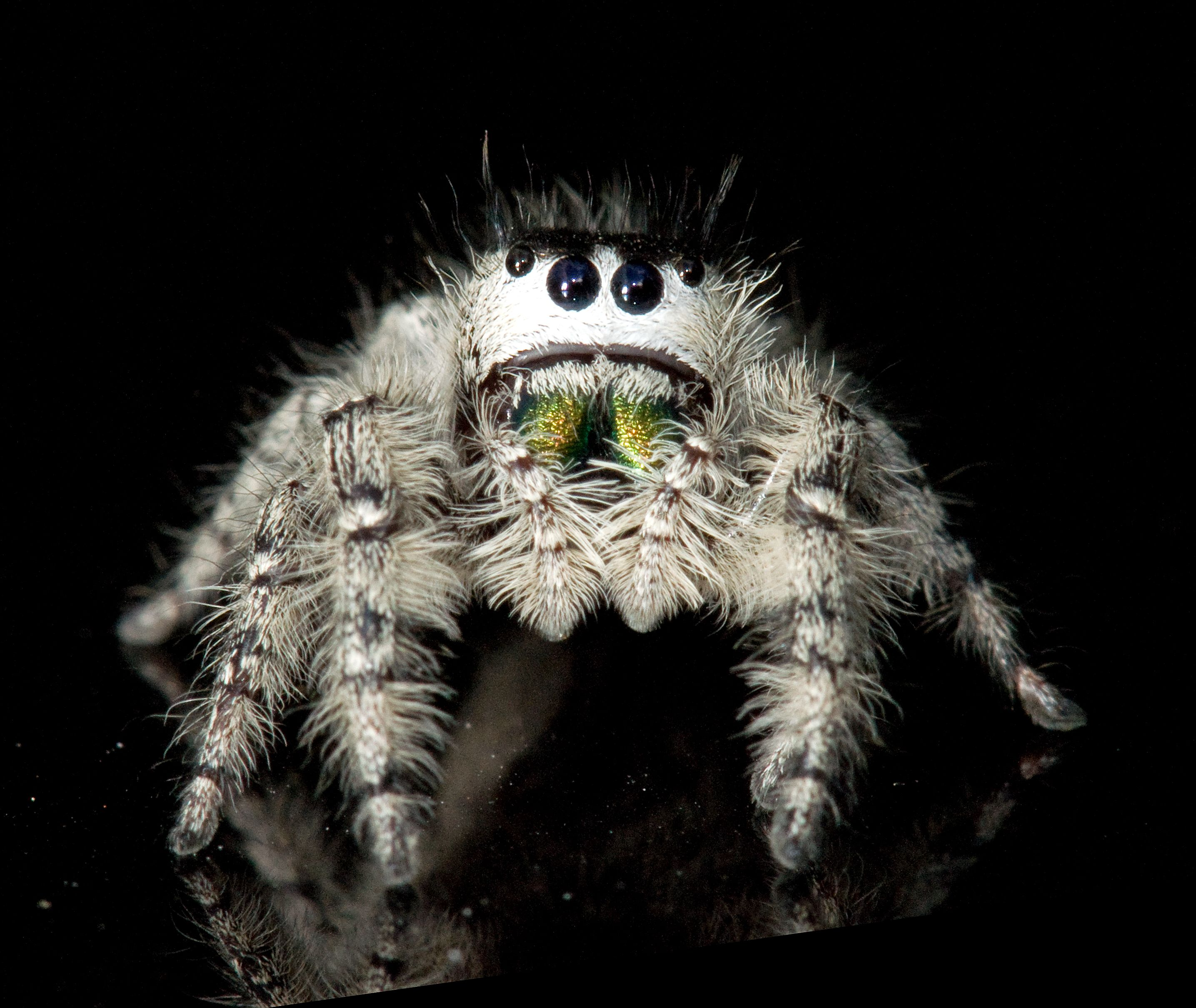 Phidippus Mystaceus I Never Thought Of Spiders As Cute Until This Little Guy Insekten Spinne Mutter Natur