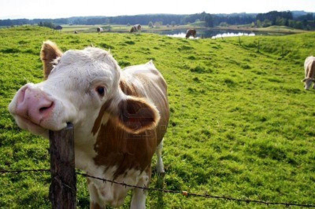 Stock Photo | Happy cow, Animals, Cow