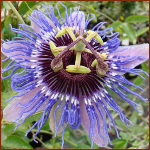 Passiflora Purple Haze Passion Flowers Passion Flower Flowers Purple Haze