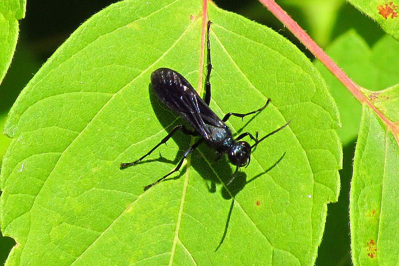 Chlorion Aerarium Steel Blue Cricket Hunter Insects Wasp Insect Photography