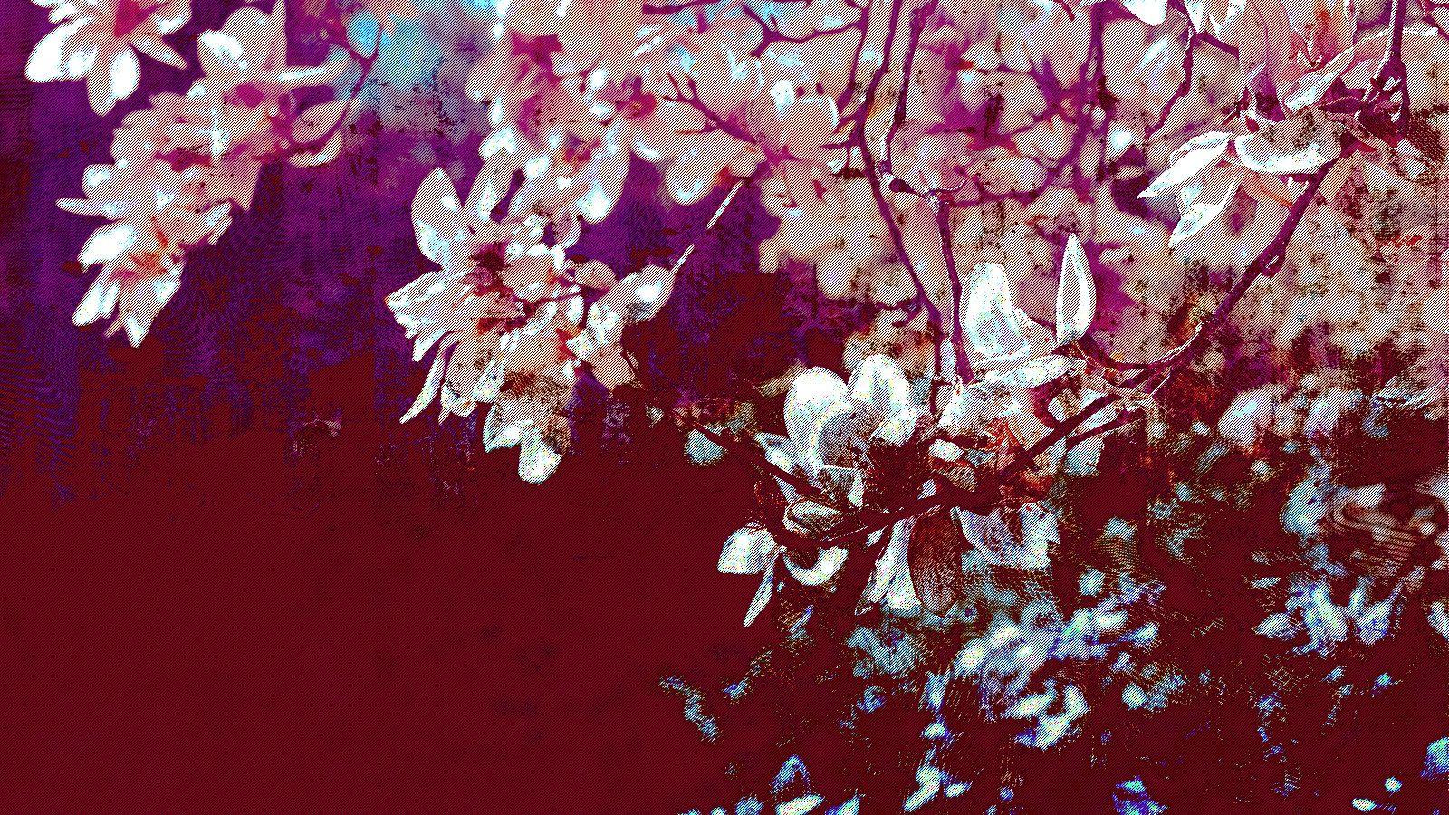 Lovely Cherry Blossom wallpaper | 2560x1600 | #23207