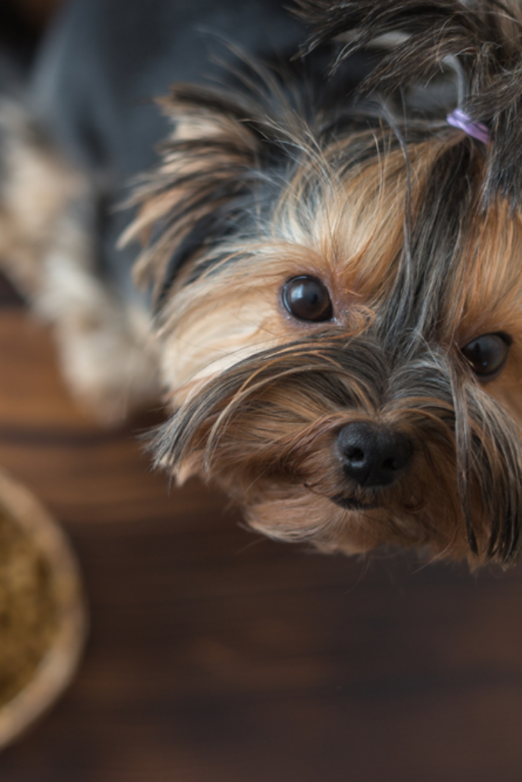 Yorkshire Puppy Eating A Tasty Dog Food Top View Yorkshireterrier Yorkshire Puppies Yorkshire Terrier Terrier
