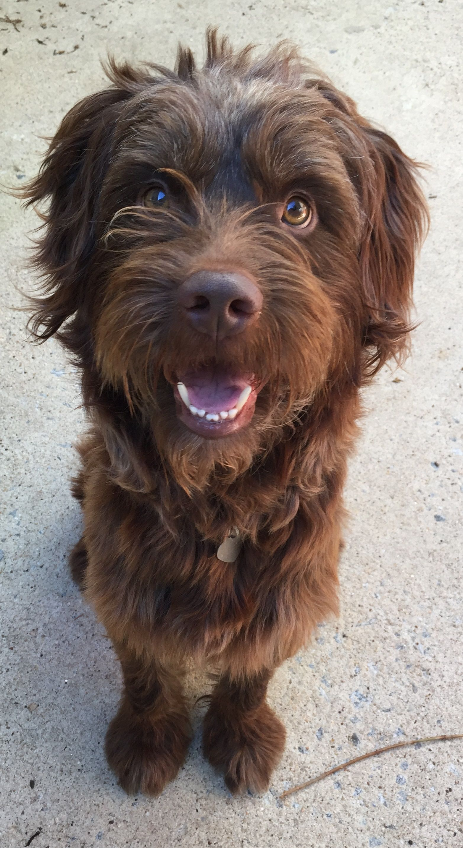 Labradoodle dog for Adoption in Pacolet, SC  ADN-728273 on