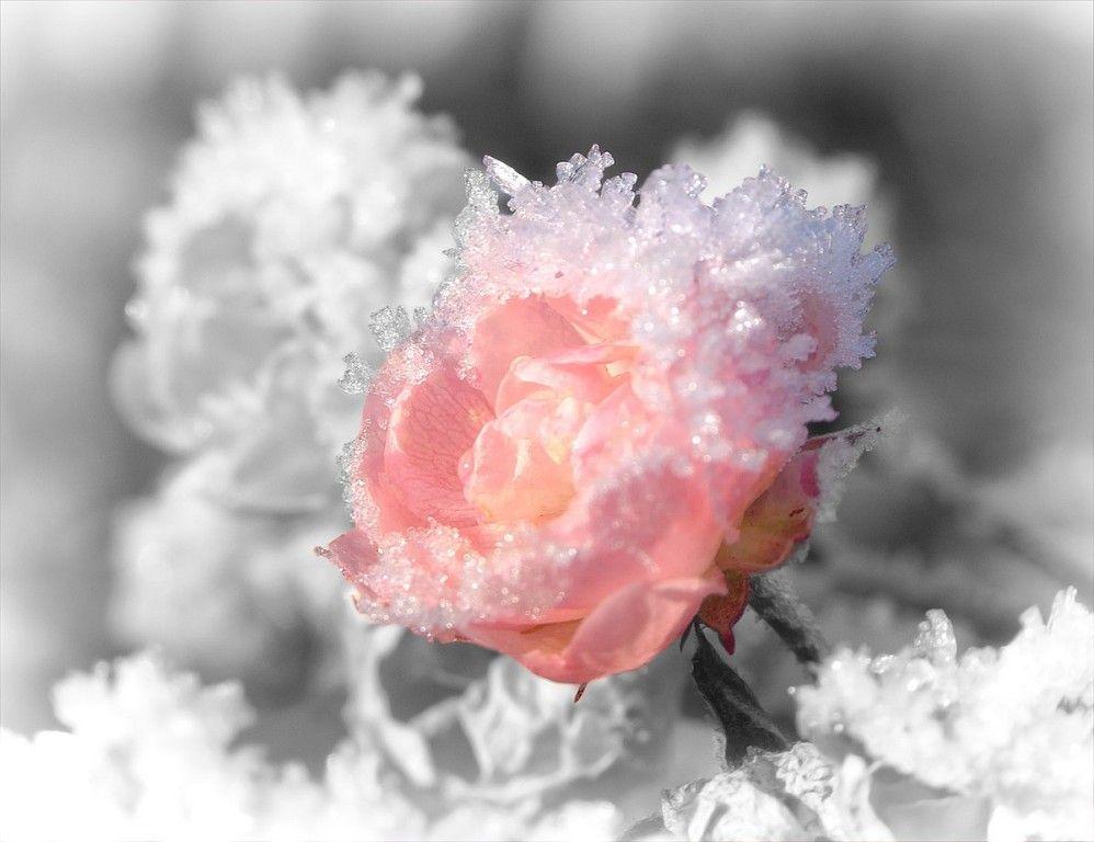 цветы зима картинки красивые самых