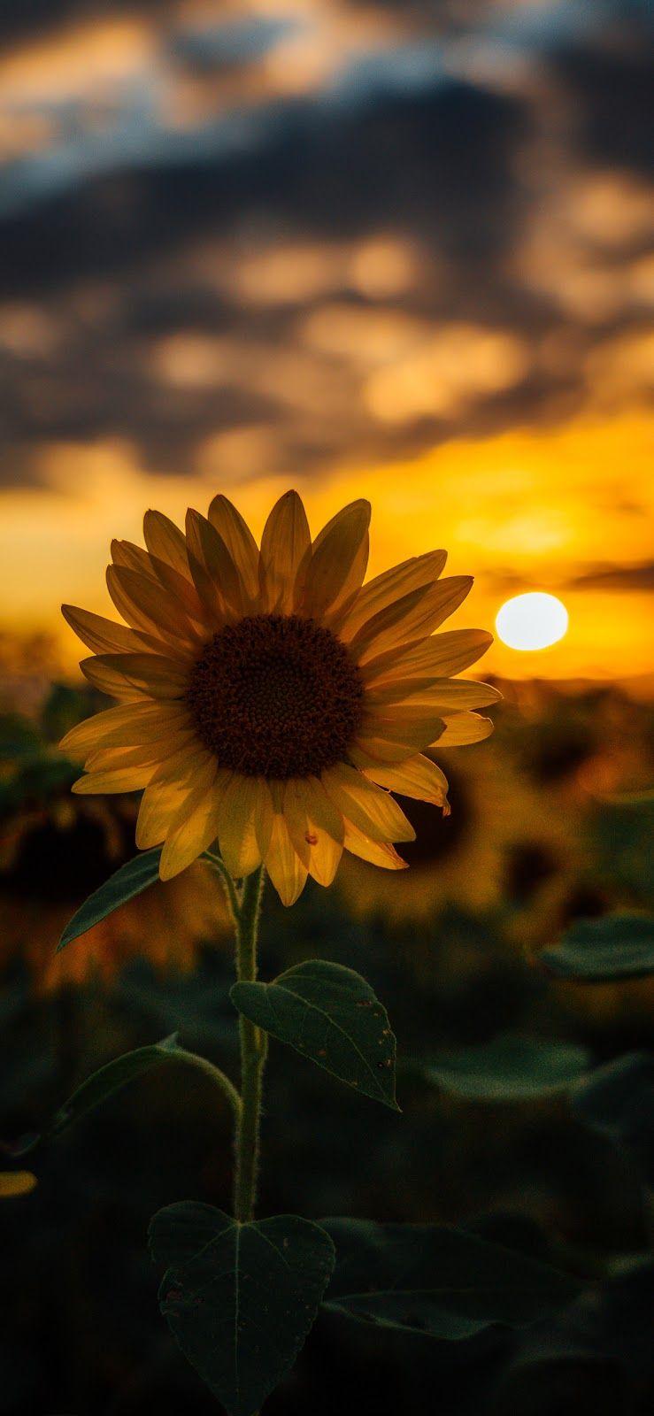 Sunflower wallpaper iphone x