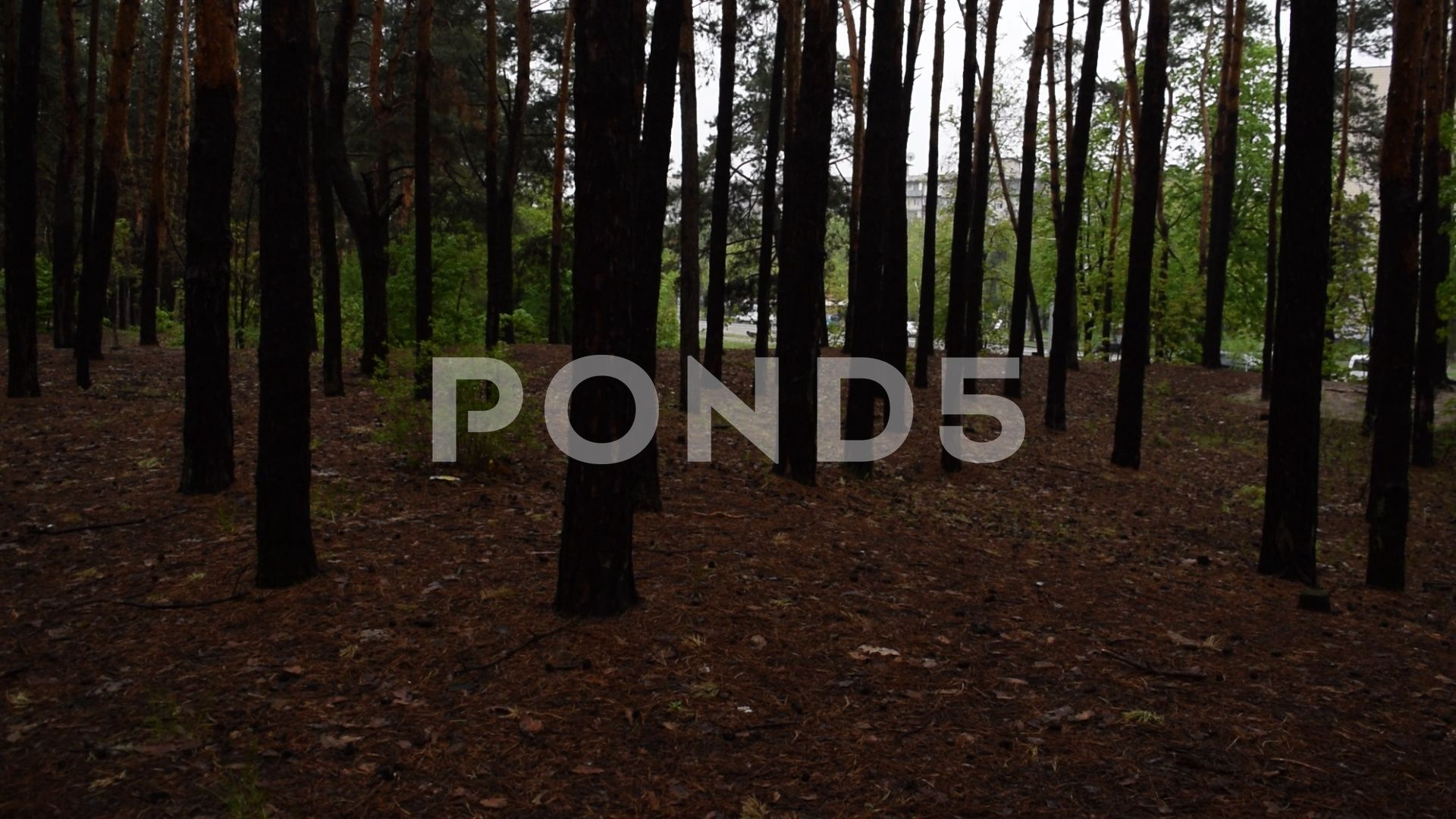 Fabulous Beautiful Dark Pine Forest Nature Stock Footage Ad Dark Pine Fabulous Beautiful Pine Forest Forest Nature